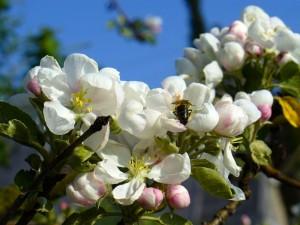 Яблони в цвету. Типы яблоневых садов