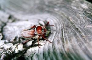 Майские жуки – вредители плодово-ягодных насаждений