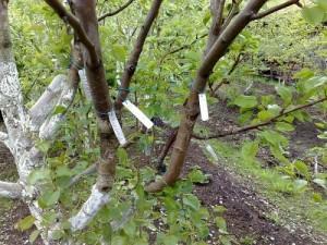 Размножение плодовых деревьев способом прививки