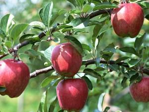 «Плодоводство» в Гродненской области