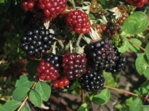 Ежевика: лучшие сорта и агротехника выращивания