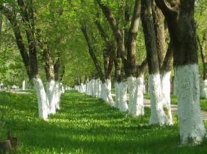 Как защитить деревья от морозов и мышей