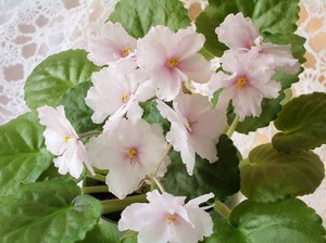 Фиалки сенполии: выращивание в домашних условиях