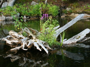 Как называется цветок который растет на болоте