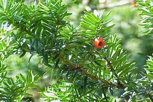 Тис – это хвойное дерево