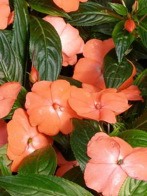 Цветок огонек фото