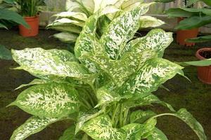 Растение диффенбахия: описание и фото