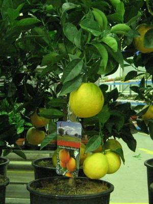 как правильно ухаживать за комнатным лимонам
