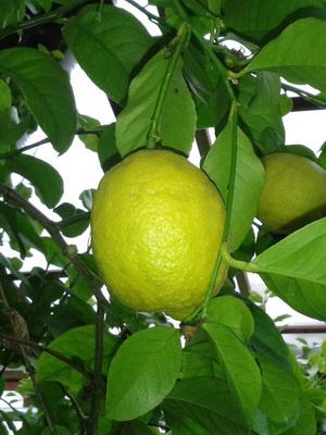 лимон комнатный выращивание и уход в