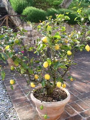 комнатный павловский лимон купить в москве