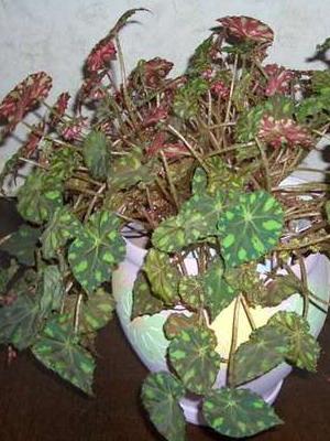Цветок комнатный с пятнистыми листьями