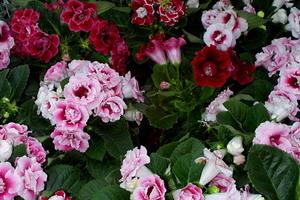Описание растение глоксиния