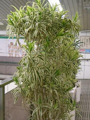 Разновидности пальм  boscostyleru