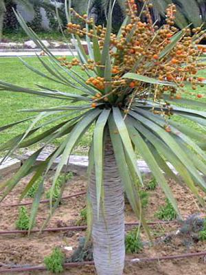 Домашняя Пальма Название И Фото