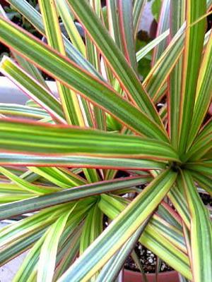цветок драцена деремская  Boomleru