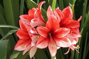 Комнатное растение амариллис