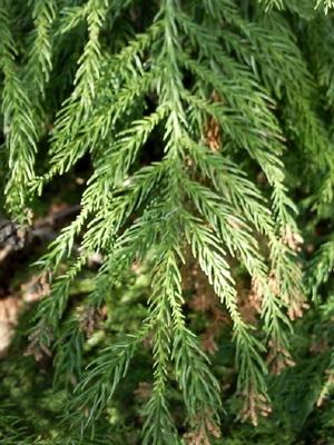 Хвойные растения фото с названиями