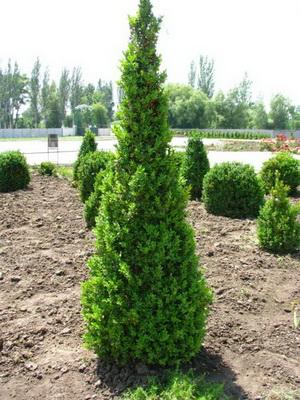 Медленно растущие хвойные растения