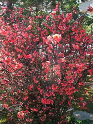Кусты с красными листьями фото и названия