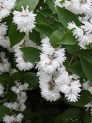 Вечнозеленые деревья и кустарники мурайя, либо муррайя (murraya). Как спармания имеет более распространенное название ― комнатная.