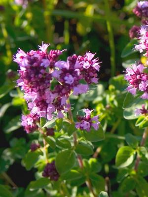 Какие ароматные травы можно выращивать в огороде?