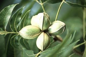 Тропические экзотические орехи: фото и названия