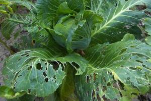 Вредители овощей: фото и защита овощных культур от вредителей