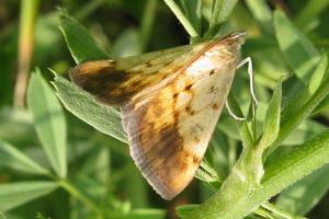 Бабочки – вредители растений в саду