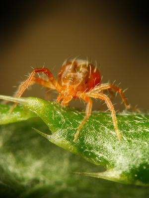 Вредители клещи в огороде: как бороться с паутинным, земляничным, чесночным и корневым (луковым) клещами
