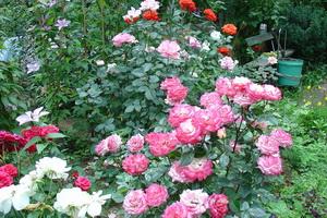 Розы в дизайне сада и дачного участка