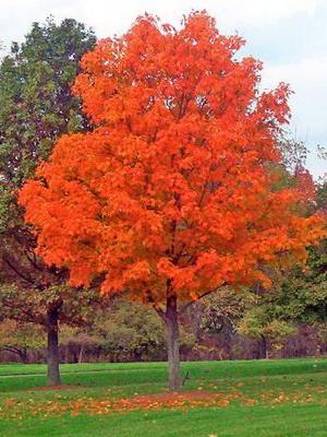 хвойные деревья для дачи фото и названия