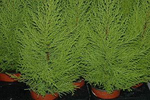 Хвойное растение комнатный кипарис