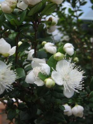 Мирт квітка фото