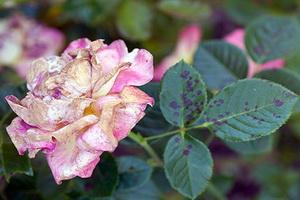 Болезни роз и их лечение.