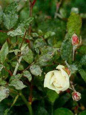 Черные пятна на листьях розы чем можно лечить