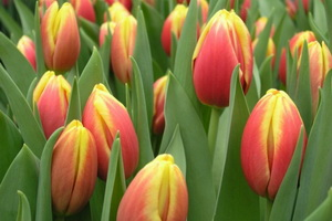 Тюльпаны цветов с названиями 92