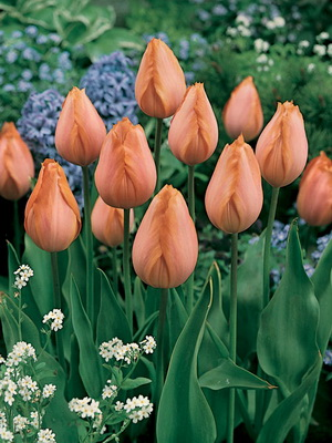 тюльпаны название сортов и фото