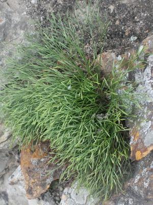 Папоротник это кустарник или трава