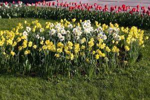 Выращивание нарциссов весной