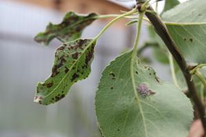 Насекомые-вредители груши и меры борьбы с ними