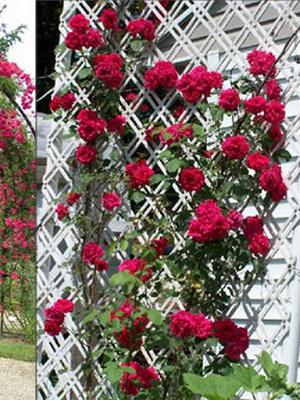 Розы посадка и уход в открытом грунте осенью