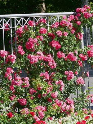 Плетистые розы в саду уход и выращивание 51