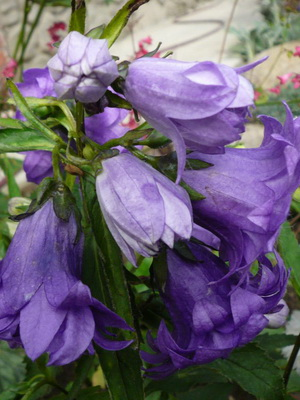 Квіти схожі на дзвіночки фото і назви