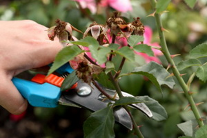 Правильная обрезка кустовых роз