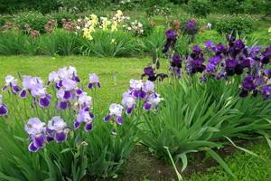 Многолетние цветы ирисы: фото и описание сортов, посадка и уход