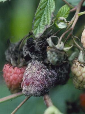 Болезни малины и борьба с ними видео