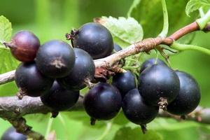 Черная смородина: лучшие сорта и агротехника выращивания
