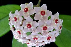 Хойя: описание видов и уход за цветком