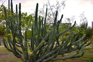Цереус: виды кактусов и уход в домашних условиях
