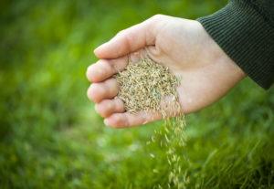 Посадка газона: подготовка почвы и посев семян